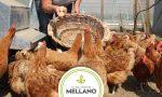 Raid nell'azienda agricola: galline decapitate e attrezzature rubate