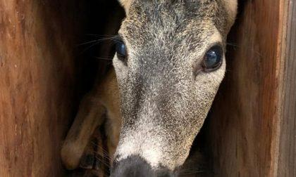 Cucciolo di capriolo caduto nel canale salvato dalla telefonata di una passante