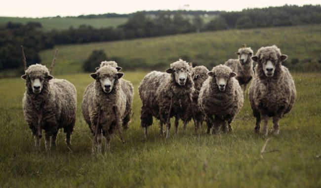 Gregge di pecore aggredito in Val Chisone, almeno 30 capi uccisi VIDEO