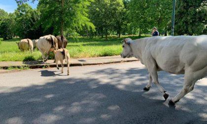Mucche in mezzo alla strada messe in sicurezza dalla Polizia