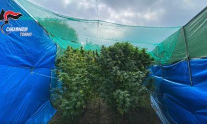 Laboratorio della droga in casa: dalla produzione alla vendita di cannabis VIDEO