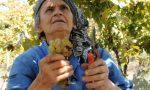 Festa dell'Uva Erbaluce, leggenda e realtà della vitivinicoltura canavesana