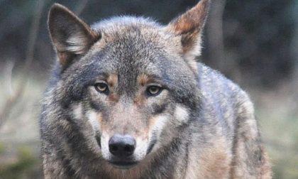 Ucciso un lupo, paura nei centri abitati di pianura