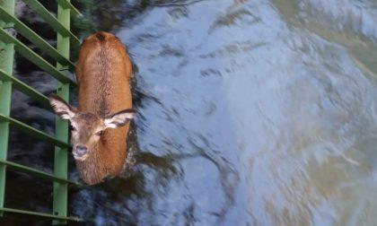 Salvato un giovane cervo caduto in un canale