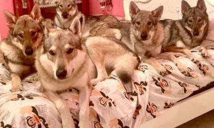 """La figlia dell'anziana sbranata dai 5 lupi cecoslovacchi ai magistrati: """"Vorrei riaverli con me"""""""