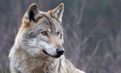 Cucciola di lupo giustiziata con una fucilata nel Canavese