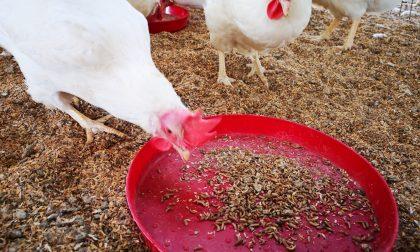 Dalle larve di mosca mangimi sostenibili per l'allevamento di polli biologici
