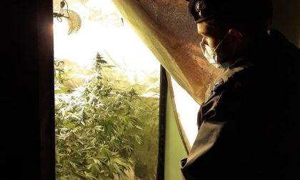 """Spaccio di """"erba"""" e piantagioni casalinghe di marijuana"""