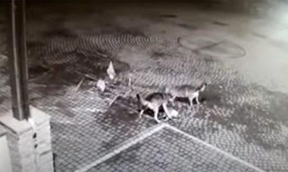 Due lupi sbranano un capriolo nella piazza centrale del paese sotto l'occhio delle telecamere