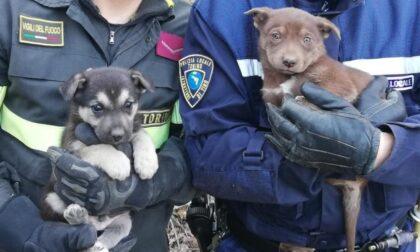 Le foto dei due cagnolini rimasti intrappolati in una tubazione e salvati dai Vigili del fuoco