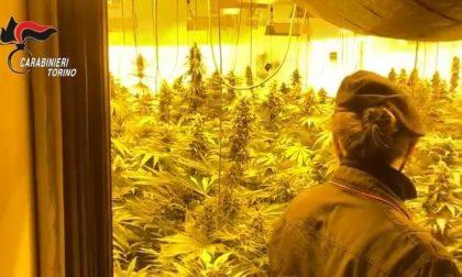 Giungla di marijuana in un casolare abbandonato: 600 piante!