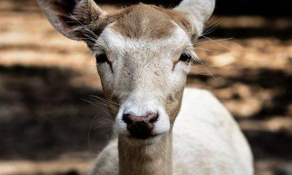 Un capriolo investito e recuperato dai veterinari del CANC, cercava di fuggire correndo su due gambe fratturate
