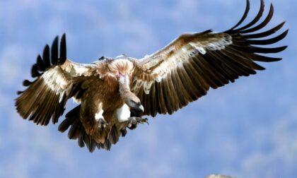 In Valle di Lanzo sono tornati gli avvoltoi (ed è merito dell'uomo)