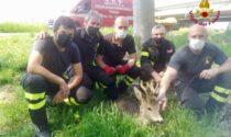 Un capriolo e uno scoiattolo finiscono nei guai: salvati entrambi dei vigili del fuoco