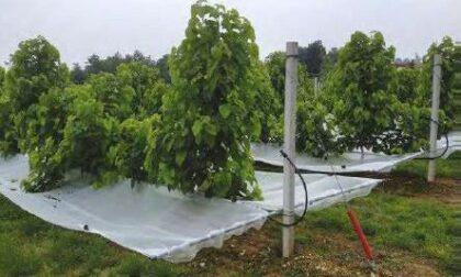 Gelso-Net: il progetto di UniTo per rilanciare la coltivazione di gelso e l'allevamento di bachi da seta