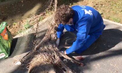 Recuperato capriolo intrappolato in un giardino di via Pianezza