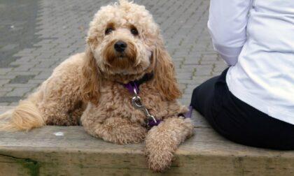 """Quelle con il cane non erano solo passeggiate: arrestato """"dog pusher"""""""