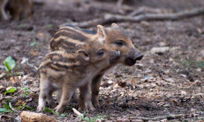 Recuperati i piccoli cinghiali del Parco di San Vito: saranno svezzati, sterilizzati e affidati a un centro faunistico