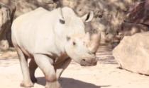 Bioparco Zoom: a far compagnia al rinoceronte John è arrivato il cucciolo Rami