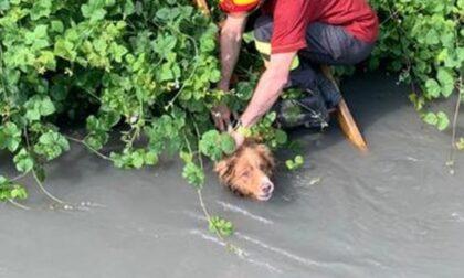 Le foto del cane caduto in un canale e trascinato dalla corrente per un chilometro