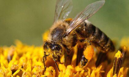 """La ricerca di UniTo: il nuovo pesticida """"amico delle api"""" in realtà le uccide"""