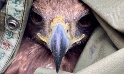 Le foto dell'aquila reale ferita salvata dai guardaparco del Gran Paradiso