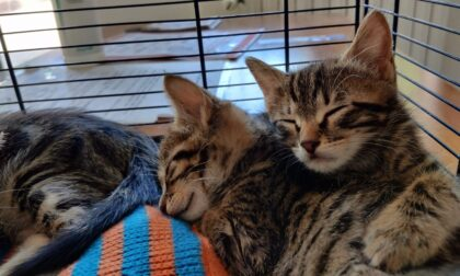 Le foto dei cuccioli di gatto abbandonati dentro una scatola e salvati dalla Polizia Municipale