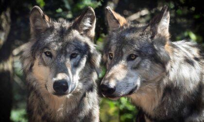 Ora è certo, i lupi sono arrivati a Torino