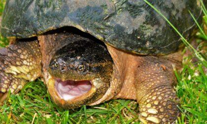 Tartaruga azzannatrice catturata a Collegno