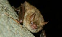 Cosa ci fa una colonia di pipistrelli nellachiesa di Santa Maria Maddalena a Casalborgone?
