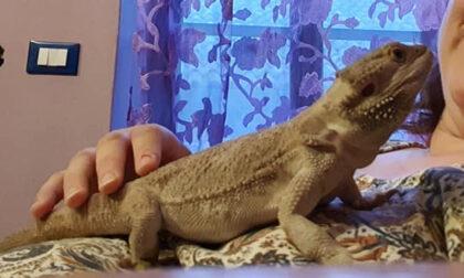Vicino a Biella un drago barbuto è scappato di casa e gira indisturbato