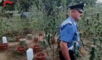 Piantagione di marijuana in ditta: arrestato il custode