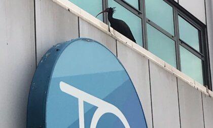 """Tre esemplari di """"ibis eremita"""" avvistati all'aeroporto di Torino Caselle"""