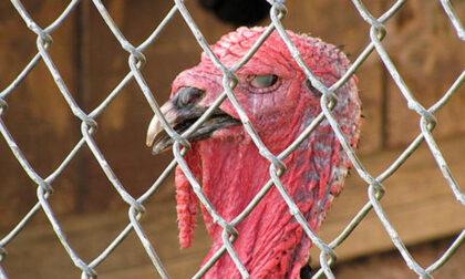 Scoperto focolaio di influenza aviaria: allevamento di tacchini sarà abbattuto