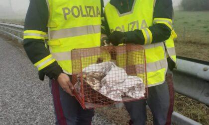 Le foto del rapace salvato sulla A6 dalla Polizia Stradale