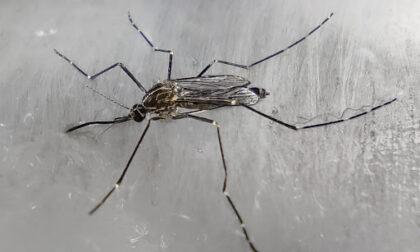 La zanzara che resiste al freddo è arrivata in Italia (in aereo)
